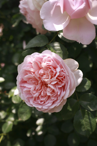 rosecafe10.jpg