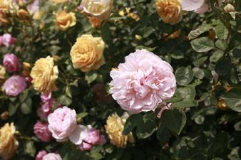 rosecafe12.jpg