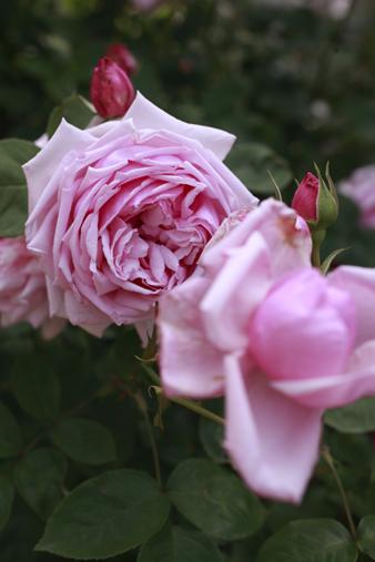 rosecafe13.jpg