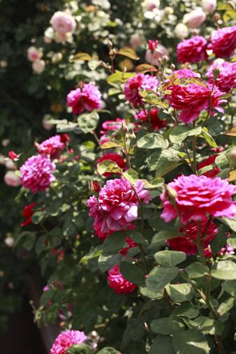 rosecafe5.jpg