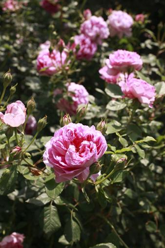 rosecafe6.jpg
